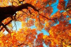 Die roten Acer monoes und der blaue Himmel Stockbild