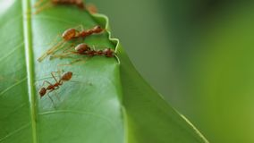 Die roten Ameisen, die Blätter errichten, nisten lizenzfreies stockbild