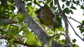 Die roten Ameisen, die auf Baum gehen, gehen zum Nest der Ameise stock video