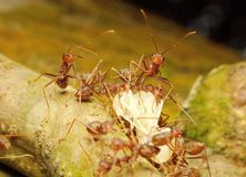die roten Ameisen und das Opfer Stockfotos