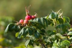 Die roten Beeren der wilden Rose stockbilder