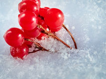 Die roten Beeren einer Guelderrose mit dem ersten Schnee Stockfoto