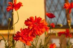 Die roten Mohnblumen auf dem Blumenbeet Stockfotografie