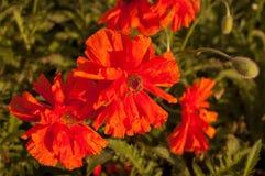 Die roten Mohnblumen und die Knospen Stockbild