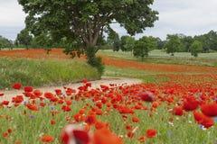Die roten Mohnblumen zwischen Bäumen Stockfotografie