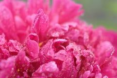 Die roten Pfingstrosenblumenblätter, die durch Regen bedeckt werden, fällt gegen grünen Hintergrund Lizenzfreie Stockfotografie