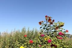Die roten Sonnenblumen, die auf einer Blumenlichtung wachsen Stockbild
