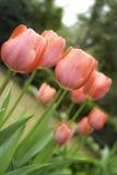 Die roten Tulpen alle zusammen Stockbild