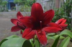 Die roten und roten Lilien, die sehr stark sind, lassen Augen überraschen und Blätter treiben Grün lizenzfreie stockfotografie