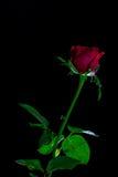 Die Rotrose, die auf einem schwarzen ackground lokalisiert wird, lieben Dunkelheit Stockfotografie