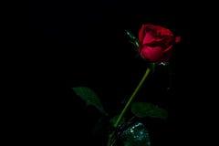 Die Rotrose, die auf einem schwarzen ackground lokalisiert wird, lieben Dunkelheit Lizenzfreie Stockbilder