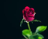 Die Rotrose, die auf einem schwarzen ackground lokalisiert wird, lieben Dunkelheit Lizenzfreie Stockfotografie