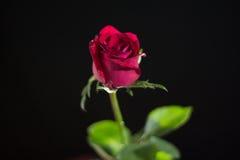 Die Rotrose, die auf einem schwarzen ackground lokalisiert wird, lieben Dunkelheit Stockfoto