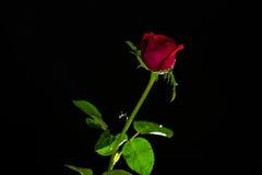 Die Rotrose, die auf einem schwarzen ackground lokalisiert wird, lieben Dunkelheit Stockfotos