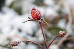 Die Rotrose mit Frost eingefroren stieg unter den Schnee Lizenzfreie Stockfotos