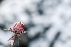 Die Rotrose mit Frost eingefroren stieg unter den Schnee Stockfotos