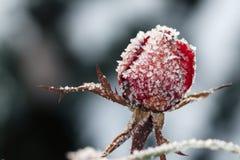 Die Rotrose mit Frost eingefroren stieg unter den Schnee Lizenzfreies Stockfoto