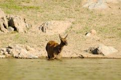 Die Rotwild an der Wasserentnahmestelle Stockfoto