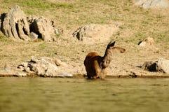 Die Rotwild an der Wasserentnahmestelle Lizenzfreie Stockfotos