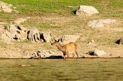 Die Rotwild an der Wasserentnahmestelle Stockfotos