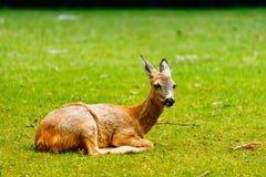 Die Rotwild am Gras Stockbild