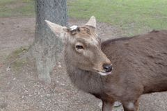 die Rotwild in Nara Park, Nara Japan stockfotos