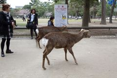 die Rotwild in Nara Park, Nara Japan lizenzfreie stockbilder