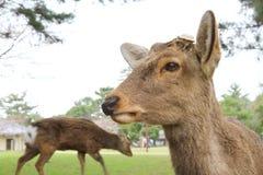 die Rotwild in Nara Park, Nara Japan stockbilder