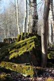 Die Ruinen einer alten konkreten Grundlage des Hauses, umfasst mit grünem Moos in einem Frühlingspark Stockfoto