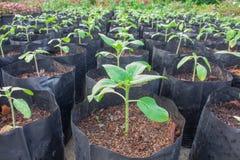 Die Sämlinge, Sonnenblume pflanzend bereiten gesundes vor, bevor sie a pflanzen Stockfotografie
