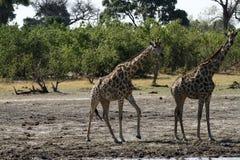 Die südafrikanische Giraffe Lizenzfreie Stockfotos