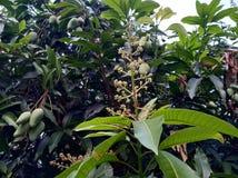 Die s??este Mango in Thailand stockfoto