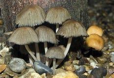 Die sammelnden Krümel-Schutzkappen-Pilze Stockbilder