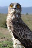 Die Schärfe des Adler ` s mustert Lizenzfreie Stockbilder