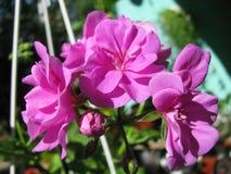 Die schöne blühende lila Pelargonie Efeublatt des Blütenstands Stockfotografie