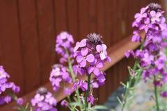 Die schöne Blume Erysimum Bowles-Malvenfarbe Lizenzfreies Stockfoto