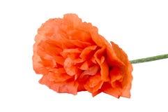 Die schöne Blumenmohnblume Stockfotografie