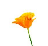 Die schöne Blumenmohnblume Stockfotos
