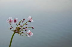 Die schöne Flussblume Lizenzfreie Stockbilder