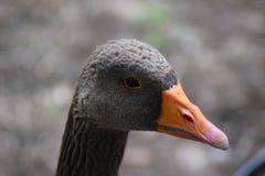 Die schöne graue Ente, Nahaufnahme Lizenzfreies Stockfoto