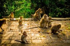 Die schöne Gruppe langschwänzige Makaken Macaca fascicularis im Ubud-Affen Forest Temple, essend trägt in einem sonnigen Früchte Stockfotos
