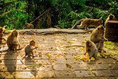 Die schöne Gruppe langschwänzige Makaken Macaca fascicularis im Ubud-Affen Forest Temple, essend trägt in einem sonnigen Früchte Stockfoto