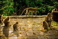 Die schöne Gruppe langschwänzige Makaken Macaca fascicularis im Ubud-Affen Forest Temple, essend trägt in einem sonnigen Früchte Stockfotografie