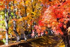 die schöne Herbstfarbe von Japan-mapleleaves auf Baum ist gre Stockfotografie