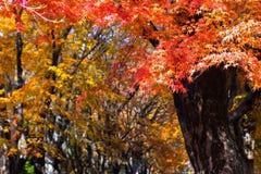 die schöne Herbstfarbe von Japan-mapleleaves auf Baum ist gre Stockfotos
