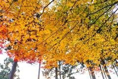 die schöne Herbstfarbe von Japan-mapleleaves auf Baum ist gre Lizenzfreies Stockfoto