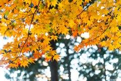 die schöne Herbstfarbe von Japan-mapleleaves auf Baum ist gre Stockfoto