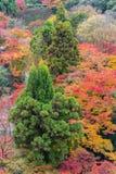 die schöne Herbstfarbe von Japan-mapleleaves auf Baum ist gre Lizenzfreie Stockfotos