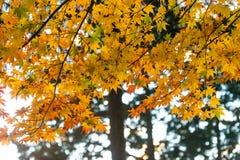 die schöne Herbstfarbe von Japan-mapleleaves auf Baum ist gre Lizenzfreie Stockbilder