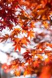 die schöne Herbstfarbe von Japan-Rotahorn verlässt auf Baum, y Lizenzfreie Stockbilder